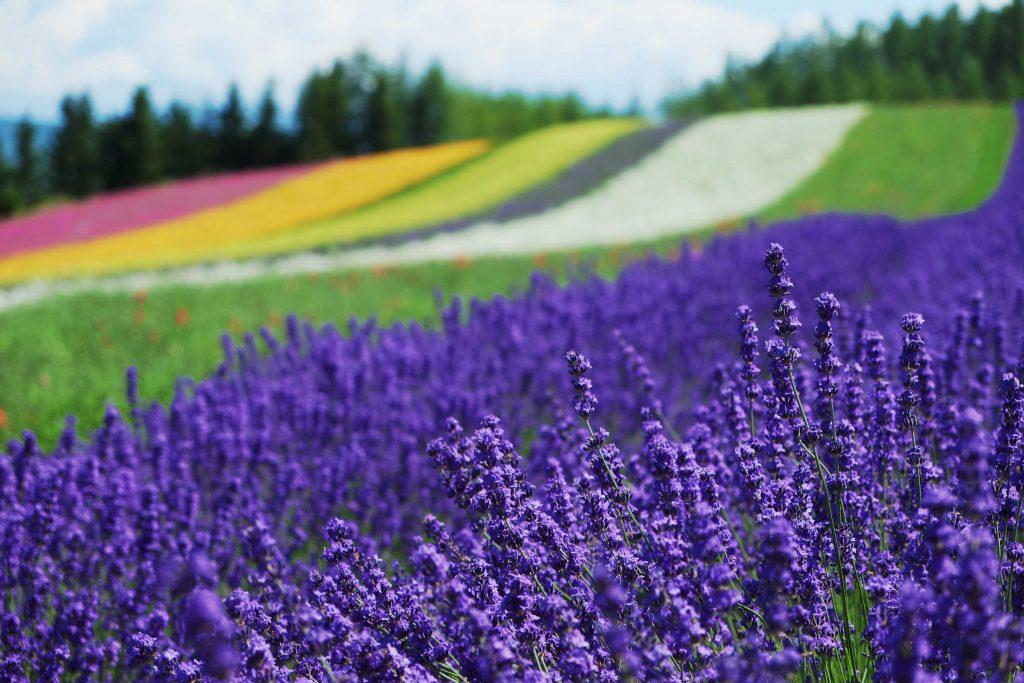 日本北海道|10大必遊景點懶人包 日本 北海道 富良野 富田農場 shutterstock 156713984