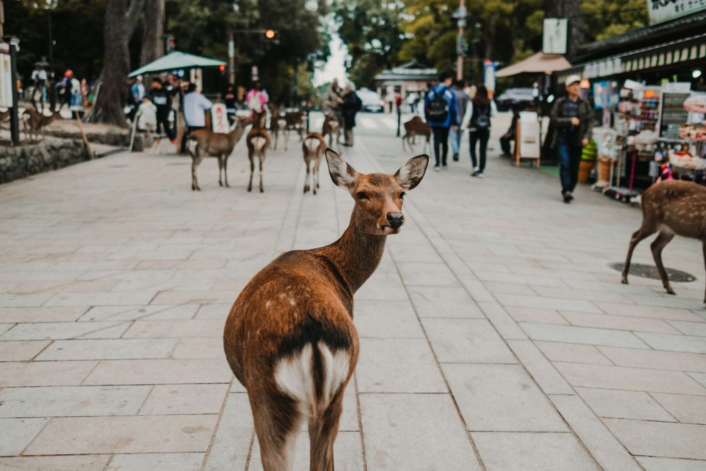 日本東大寺梅花鹿
