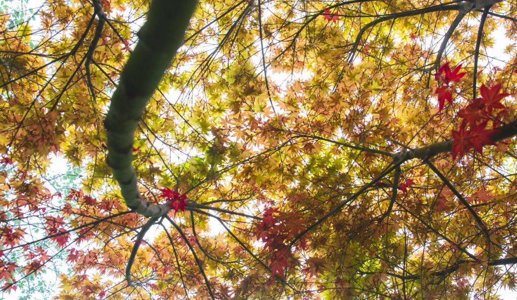 全台賞楓攻略1|北部秋季必去的楓紅景點與落羽松秘境大公開! 全台賞楓 3 拉拉山