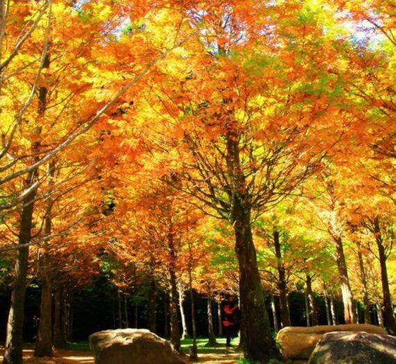 全台賞楓攻略2|台中.南投.嘉義超美的楓紅景點與銀杏、落羽松金色大地!