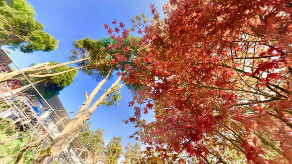 全台賞楓攻略1|北部秋季必去的楓紅景點與落羽松秘境大公開! 拉拉山全台賞楓 1