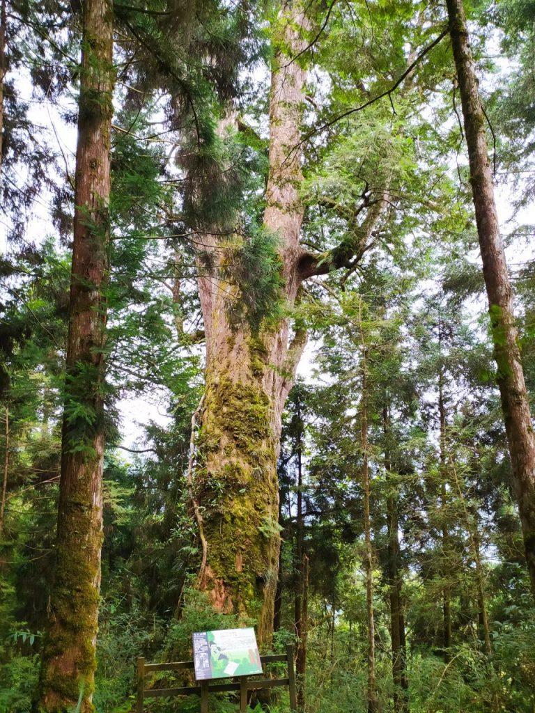 【宜蘭】棲蘭馬告神木園,前進全亞洲最大檜木園區與迷霧森林 宜蘭的力麗馬告神木園Taiwan Yilan 4