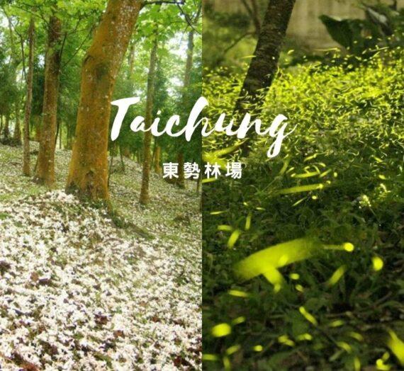 台中東勢林場|4.5月季節限定!雪白油桐花季&綠光飛舞螢火蟲季一次滿足