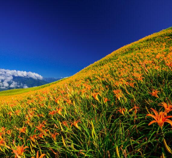 繽紛春夏.花卉特輯|繡球花、油桐花、高山杜鵑、劍蘭花、阿勃勒、金針花!山富賞花最前線