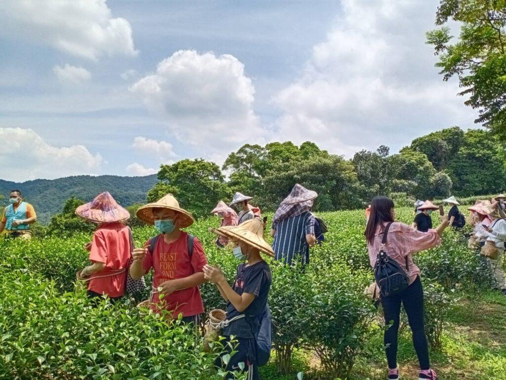 新北文山農場1日-體驗採茶、貓頭鷹筆筒DIY、練武功! 新北文山農場1日 體驗採茶 4